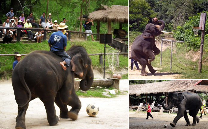 Chiang Mai Elephant at Work Football